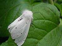 """Феромонная ловушка на """"Американскую белую бабочку"""""""