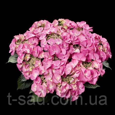 Гортензія крупнолистная Tiffany rosa (Тіффані роса) 3год