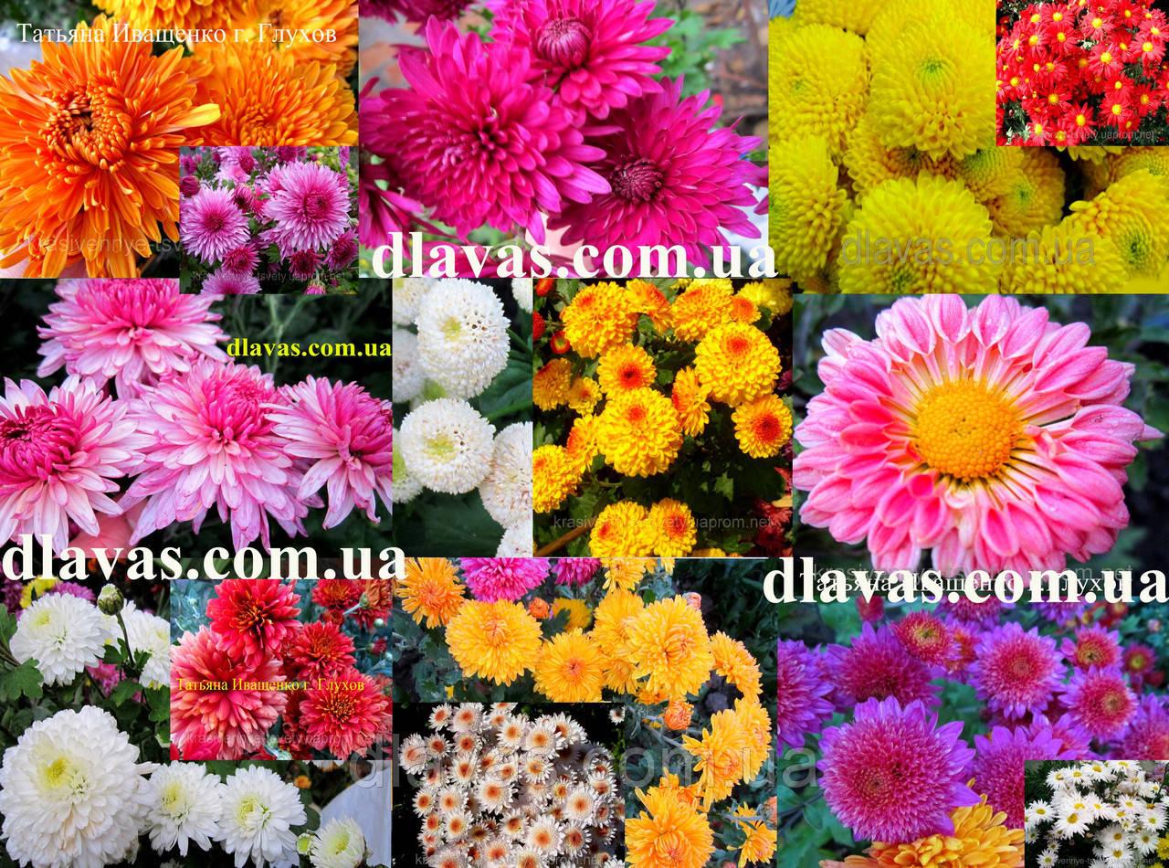 Хризантема живці корейська суміш (1 шт)