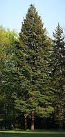 Псевдотсуга Мензиса сизая или голубая, Дугласова пихта, Дугласия (саженец 3 года, 30-40 см)