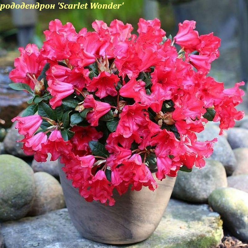 Рододендрон Scarlet Wonder (Алое чудо) горш 1.5л