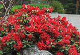 Рододендрон Scarlet Wonder (Алое чудо) горш 1.5л, фото 2