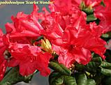 Рододендрон Scarlet Wonder (Алое чудо) горш 1.5л, фото 3