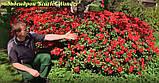 Рододендрон Scarlet Wonder (Алое чудо) горш 1.5л, фото 4