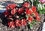 Рододендрон Scarlet Wonder (Алое чудо) горш 1.5л, фото 6