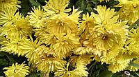 Хризантема садовая жёлтая, фото 1