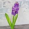 Гіацинт фіолет преміум 40 см