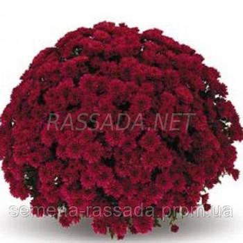 Хризантема Пованимл красная