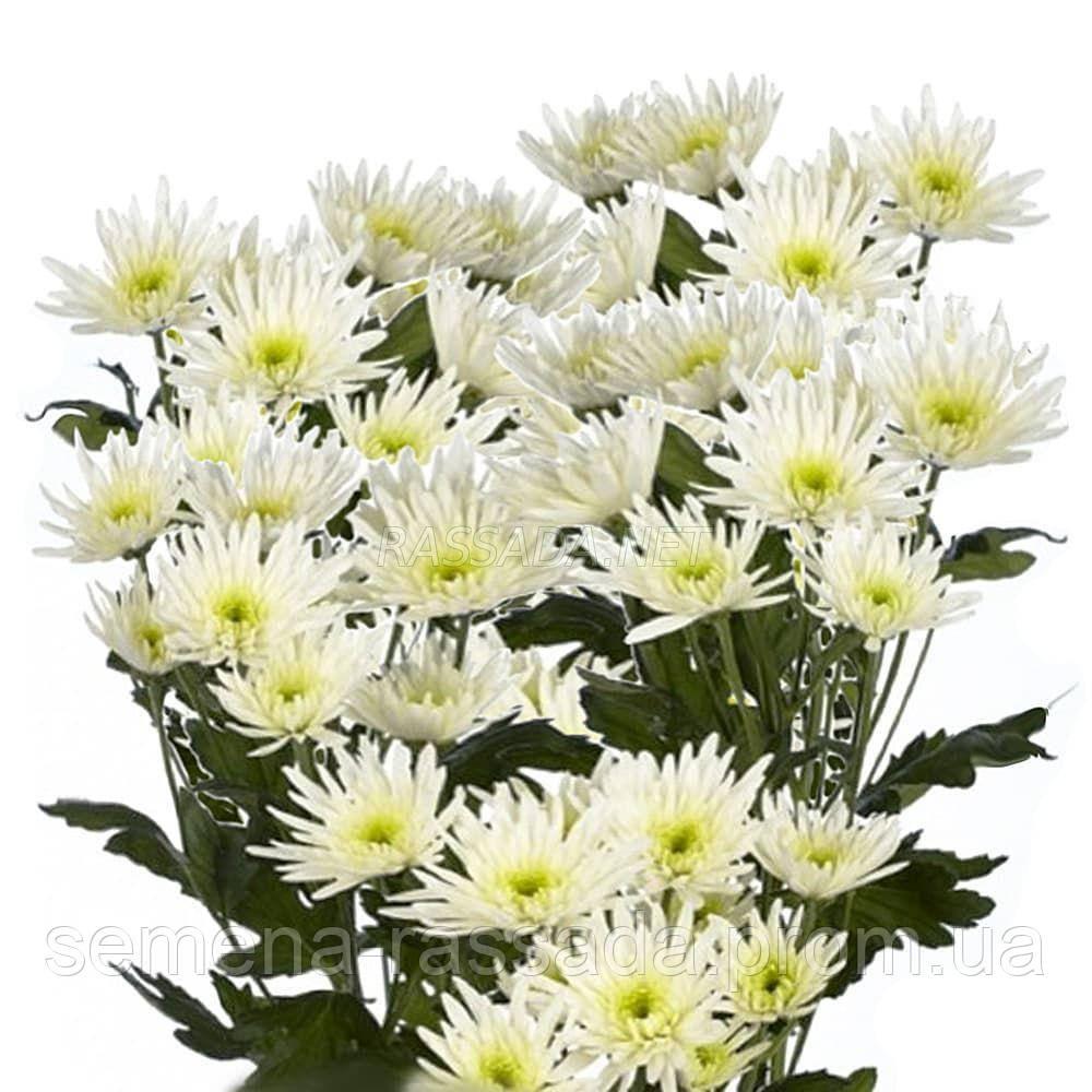 Хризантема Делиана белая