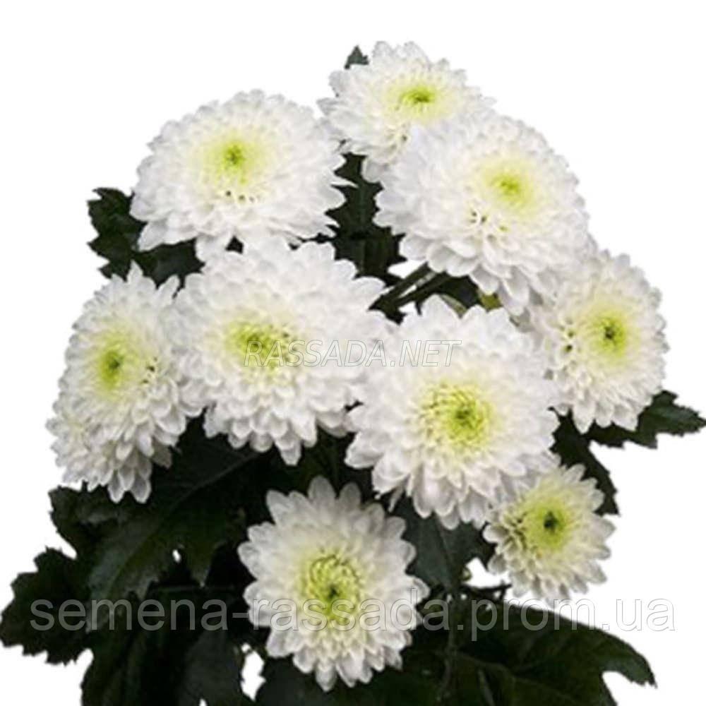 Хризантема Ибис белая