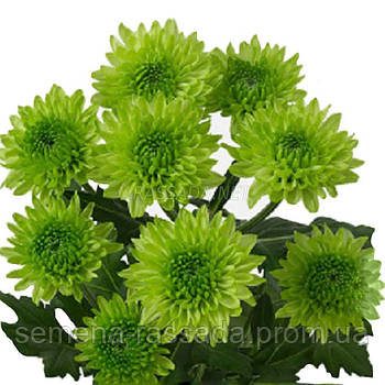 Хризантема Авокадо зелёная