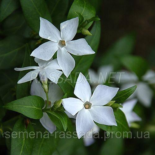 Барвинок крупнолистный с белым цветком .