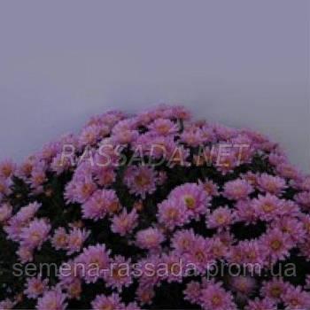 Хризантема Коппа розовая