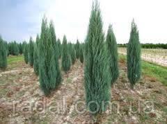 Можжевельник скальный Блю Эрроу  С2 (50см) ( Juniperus scopulorum Blue Arrow )