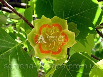 Лириодендрон тюльпановый (25-35 см, 3 л)