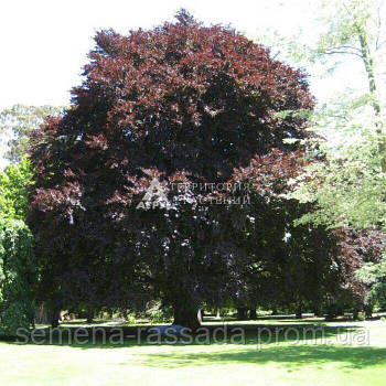 Бук лесной Atropunicea (70-80 см, 3 л)