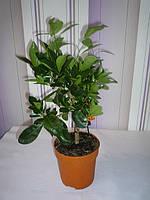 Мандариновое дерево в горшочке Calamondin без плодов