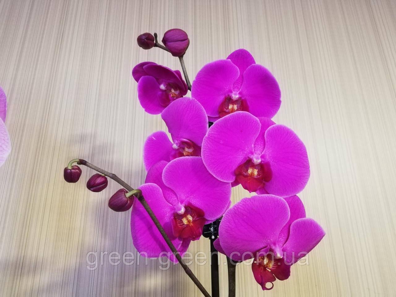 Орхидея Фаленопсис сиреневая  (не цветущая)