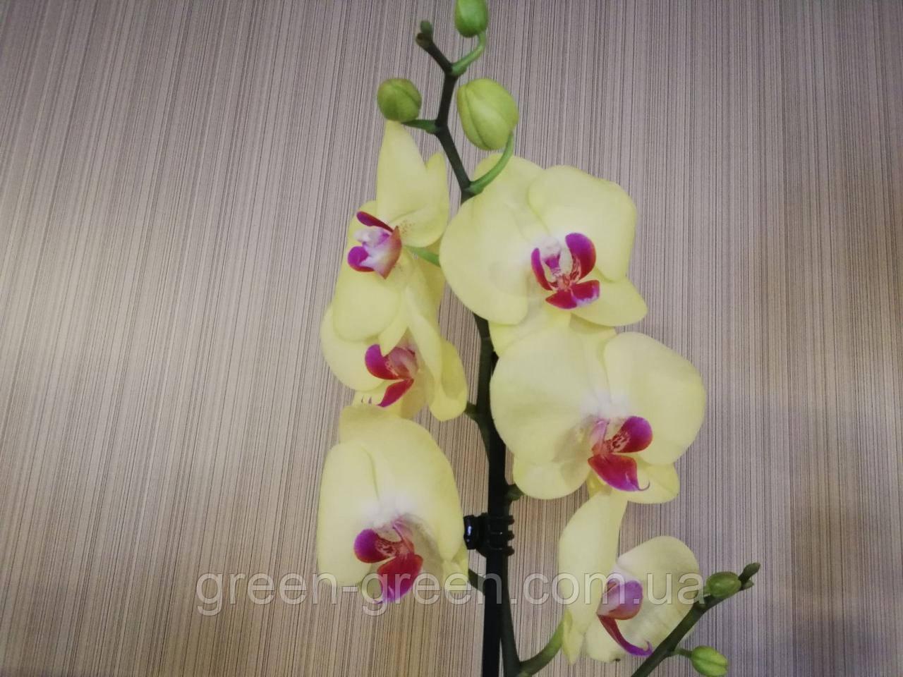 Орхидея Фаленопсис желтая с красным центром