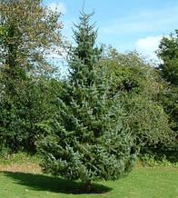 Ель сербская, Picea Omorika С2-С3