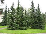 Ель сербская, Picea Omorika С2-С3, фото 2