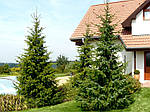 Ель сербская, Picea Omorika С2-С3, фото 3