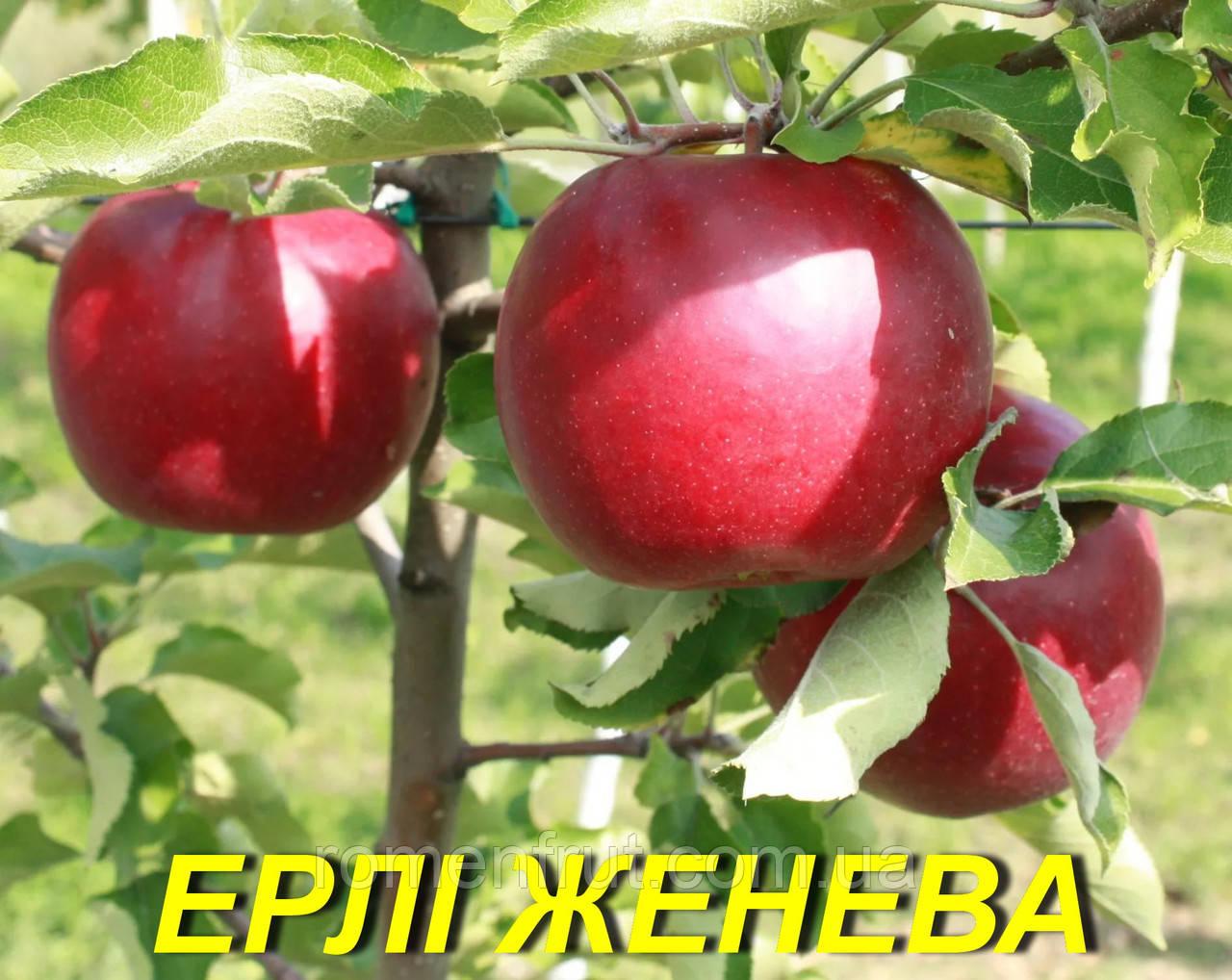 "Саженцы яблони ""Эрли Женева"""