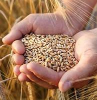 Американські вчені виявили у диких сортах пшениці ген стійкості до посухи.