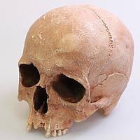 Модель черепа зліпок з натурального з Кісниці, Чехія, виготовлений з гіпсу, для декорацій, реквізиту, фото 1