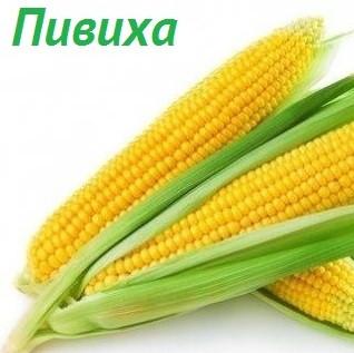 ДН Пивиха насіння кукурудзи