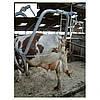 Станок для обрезки копыт у коров, фото 2