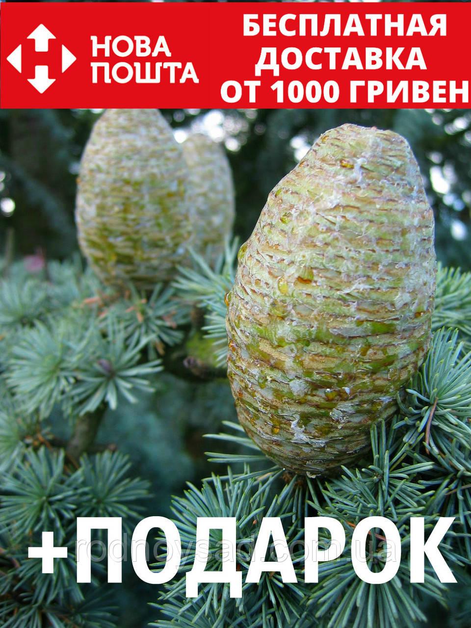 Кедр атласский семена 20 шт (Cédrus atlántica) для саженцев насіння на саджанці