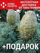 Кедр атласский семена 20 шт (Cédrus atlántica) для саженцев + инструкции + подарок