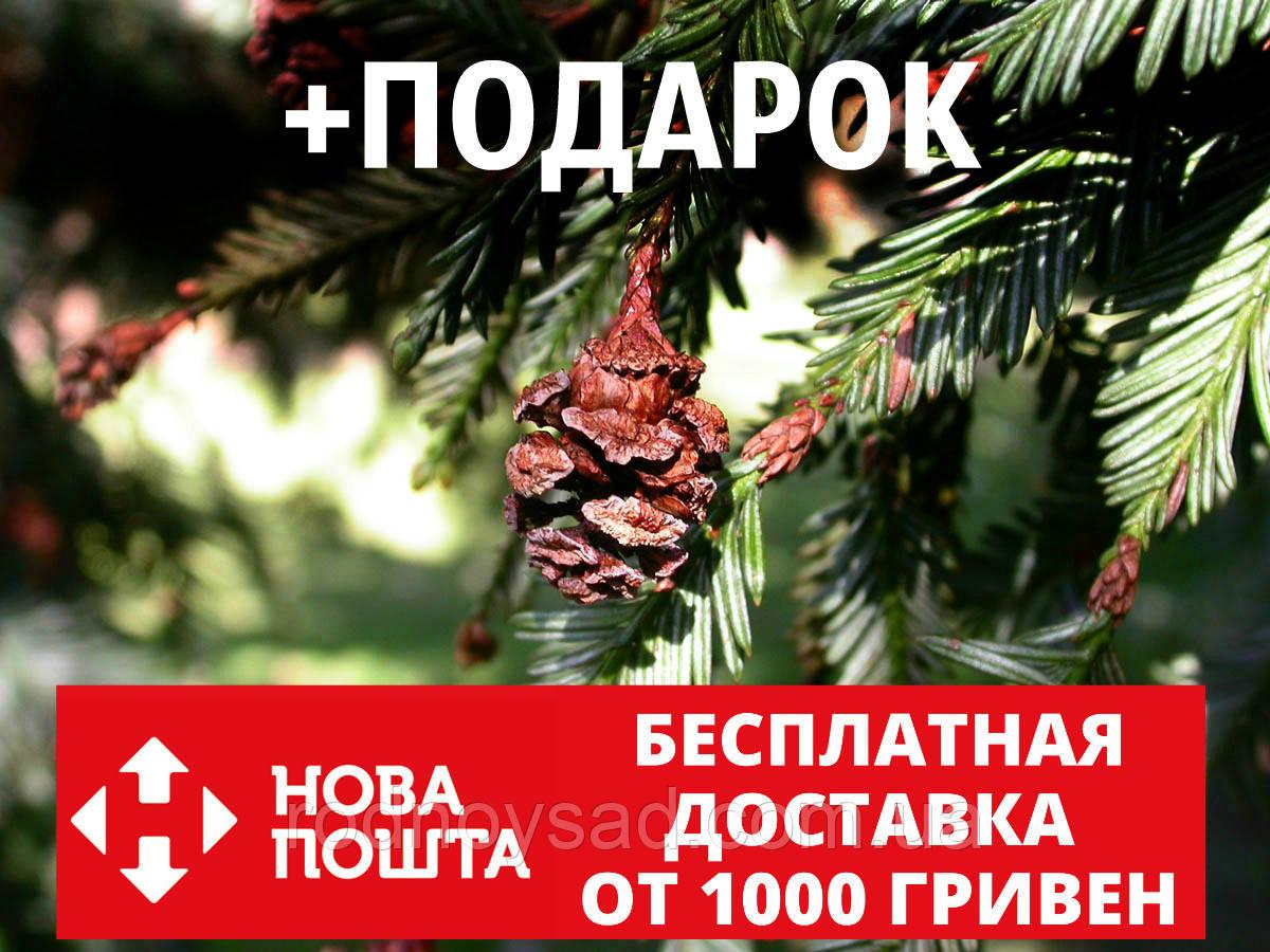 Секвойя семена 20 шт (вечнозелёная, красная, Sequoia sempervirens) для саженцев насіння на саджанці