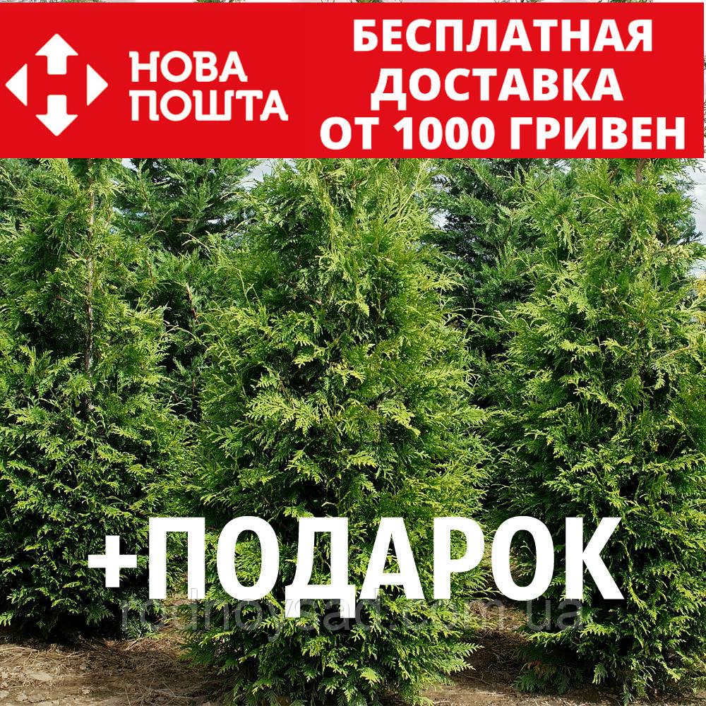 Туя западная семена 20 шт для выращивания саженцев Thúja occidentális насіння на саджанці + подарок