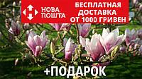 Магнолия Суланжа семена 10 шт (Magnolia soulangeana) для саженцев насіння магнолія на саджанці, фото 1