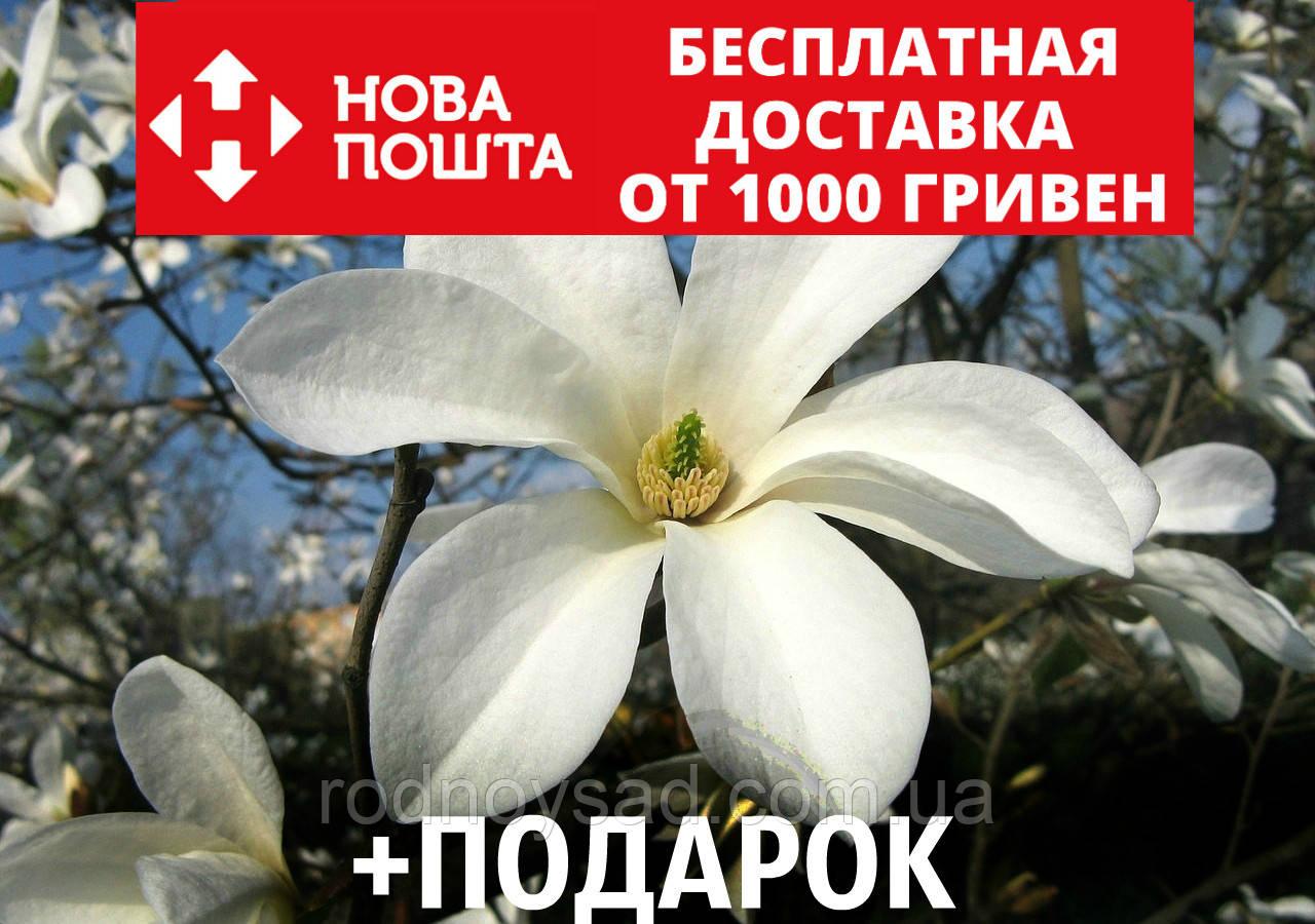 Магнолия кобус семена 10 шт (Magnolia kobus) для саженцев насіння магнолія на саджанці