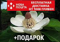 Магнолия обратнояйцевидная семена 10 шт (Magnolia obovata) для саженцев насіння магнолія на саджанці, фото 1
