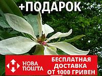 Магнолия трёхлепестная семена 10 шт (Magnolia tripetala) для саженцев насіння магнолія на саджанці, фото 1