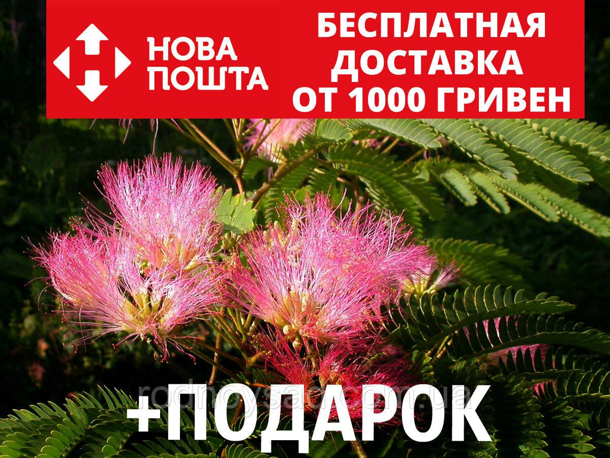 Альбиция ленкоранская семена 10 шт (Albizia julibrissin) шёлковая акация для саженцев насіння