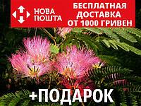 Альбиция ленкоранская семена 10 шт (Albizia julibrissin) шёлковая акация для саженцев насіння, фото 1