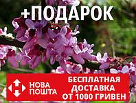 Церцис канадский семена 10 шт (багрянник, Cercis canadensis) для саженцев насіння на саджанці