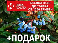 Магония падуболистная семена (10 шт) для выращивания саженцев Mahōnia aquifōlium, фото 1