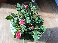 Роза комнатная Pink