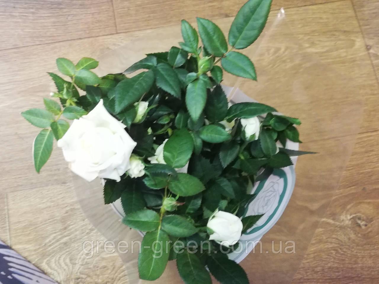 Роза комнатная White