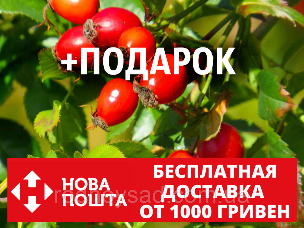 "Шиповник ""Майский"" семена (50шт) дикая роза для выращивания саженцев(шипшина насіння для саджанців)+инструкция"