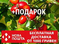 "Шиповник ""Майский"" семена (50шт) дикая роза для выращивания саженцев(шипшина насіння для саджанців)+инструкция, фото 1"