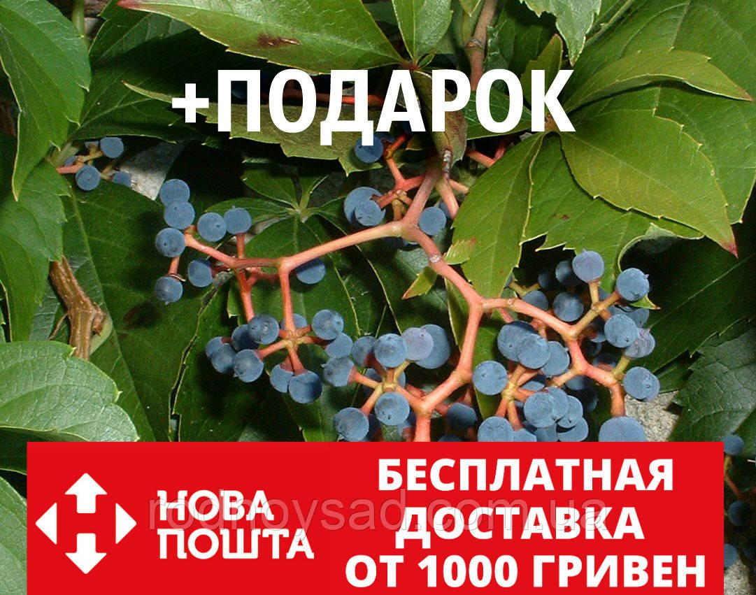 Девичий виноград дикий пятилистный семена(20 шт) для саженцев семечки, косточки, насіння Parthenocissu+подарок