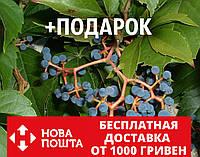 Девичий виноград дикий пятилистный семена(20 шт) для саженцев семечки, косточки, насіння Parthenocissu+подарок, фото 1
