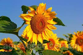 Средства защиты растений для промышленного выращивания подсолнечника
